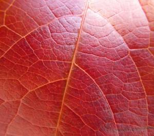 Feuilles de vigne rouge biologique puissant antioxydant