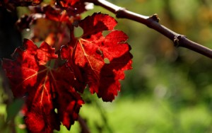 Vigne rouge bio antioxydante