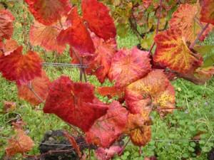 Vigne rouge : propriétés