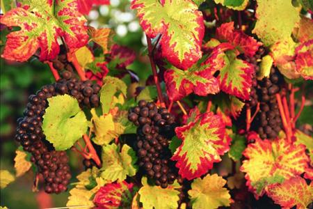 Les défis Botaniques de Shiemi :) - Page 7 Vigne-rouge-bio-circulation-antioxydant-naturel-feuille-phytotherapie-jambes-lourdes-veines-sang-proprietes-4