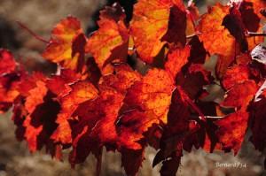 Vigne rouge: les propriétés (varices ,hémoroides, jambes lourdes, mauvaise circulation...)