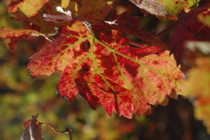 La vigne rouge bio, sa description vertus