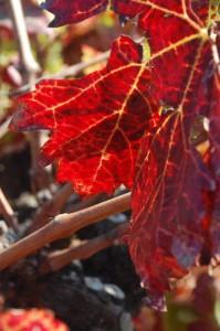Vigne rouge antioxydante
