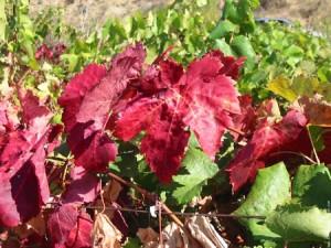 Vigne rouge : Vitis vinifera