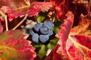 Feuilles de vigne rouge antioxydantes
