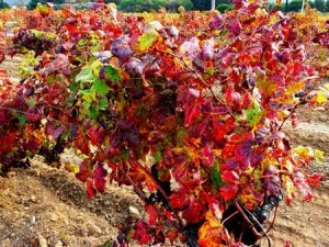 LA VIGNE ROUGE Vitis vinifera