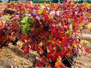 Les bienfaits de la vigne rouge antioxydante
